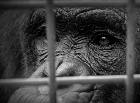 animals behind bars essay The buenos aires zoo has closed, but the animals still remain behind bars, said fontan nothing has changed there, except the name.